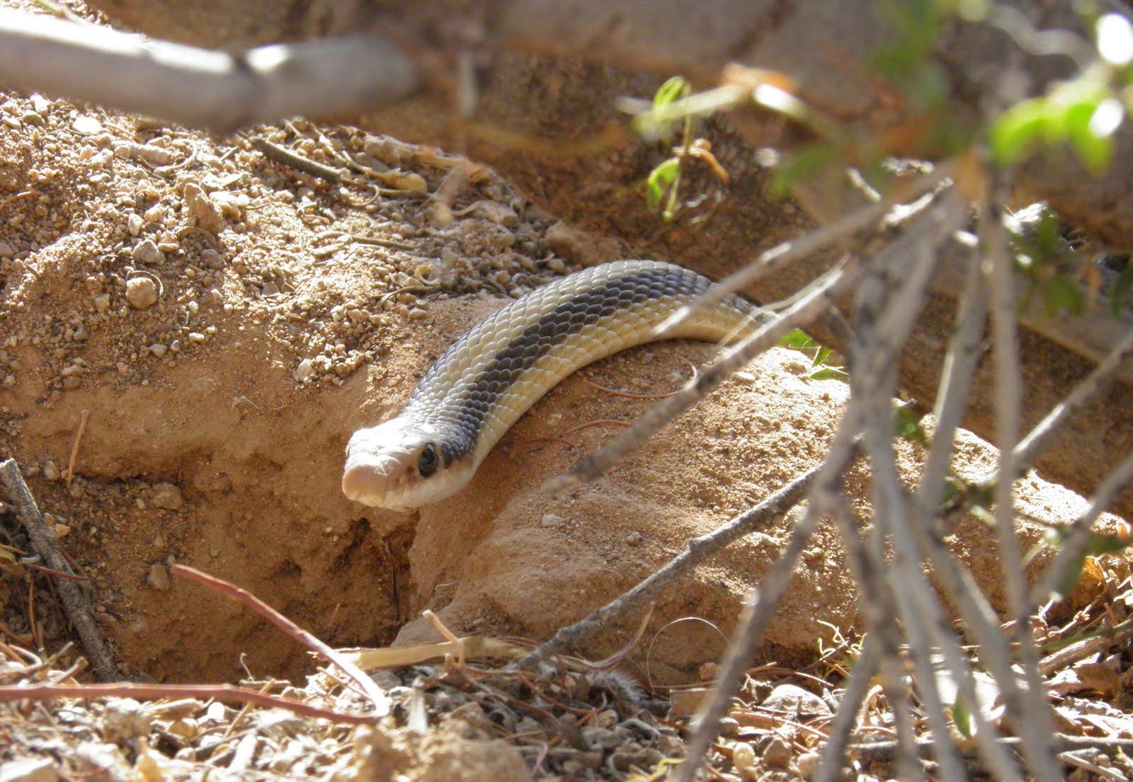 arizona beetles bugs birds and more another backyard snake