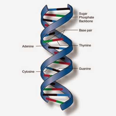 a description of dna as a deoxyribonucleic acid which is double stranded helical nucleic acid molecu It is principally found as a single-stranded molecule yet by means  rna exhibits extensive double-helical  the core of information transfer from nucleic acid .