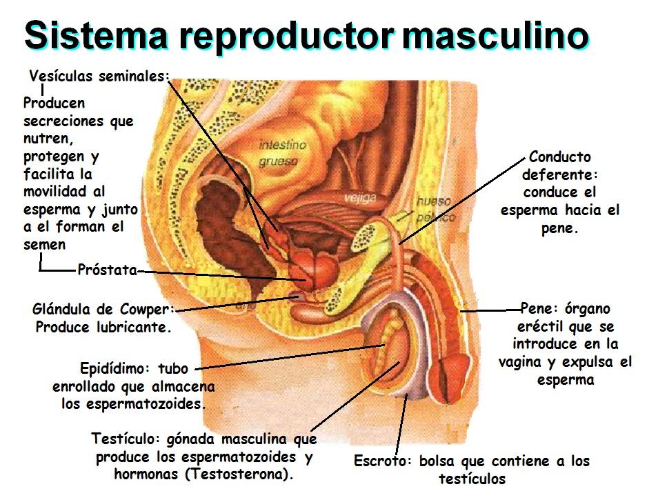 Famoso Sistema Reproductivo Masculino Y Femenino Motivo - Anatomía ...