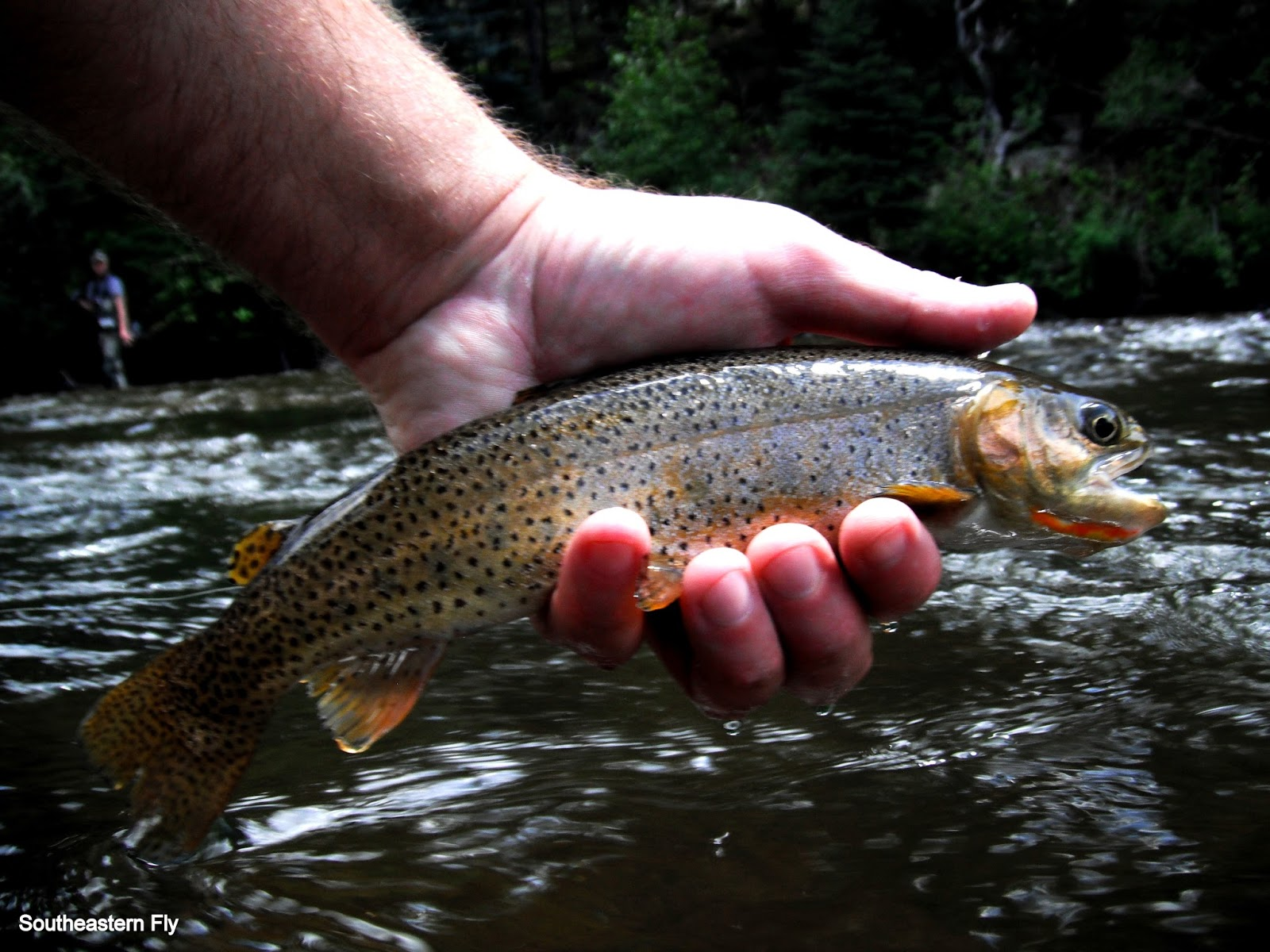 Southeastern fly fly fishing the taylor river for Taylor fly fishing