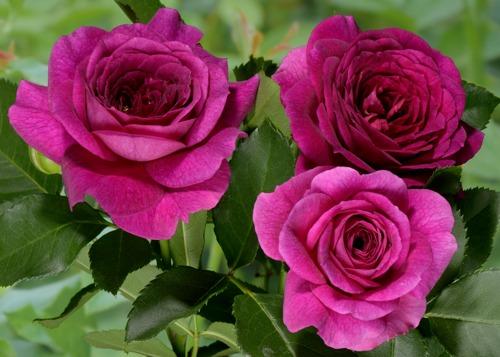Ebb Tide rose сорт розы фото