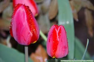 Fleurs de Tulipes