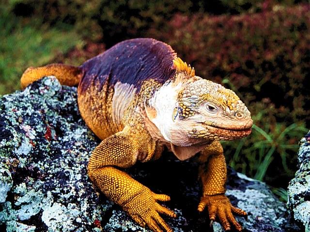 Iguana Picture