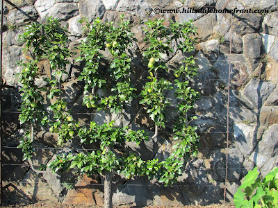 biltmore fruit tree
