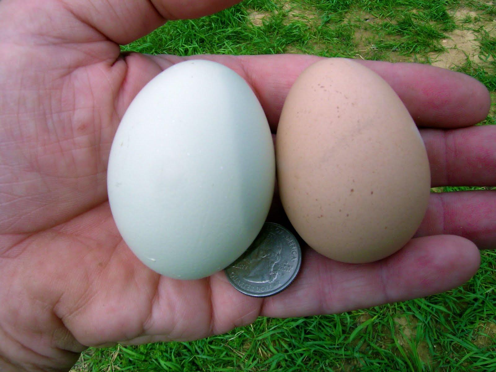 The Badgersett Growers Blog: Free Range Chicken & Guinea Hatching ...