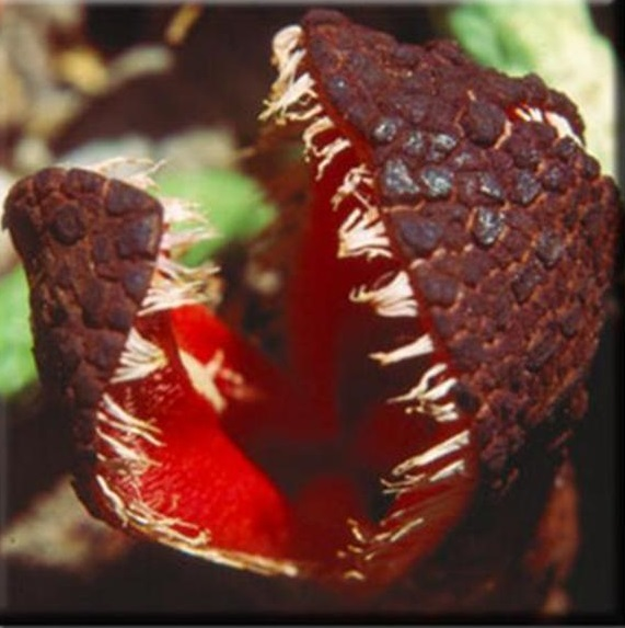 Hydnora africana the garden of eaden - Interesting houseplants ...