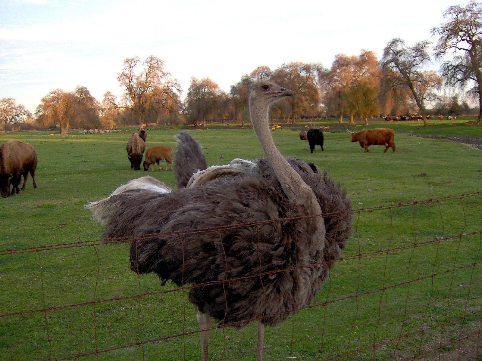 birds desert ostrich hd - photo #40