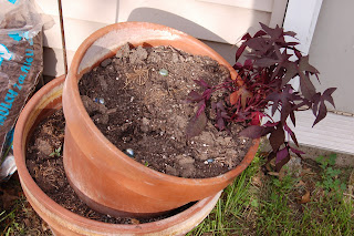 Empty pot where Cameo Basil is going to go