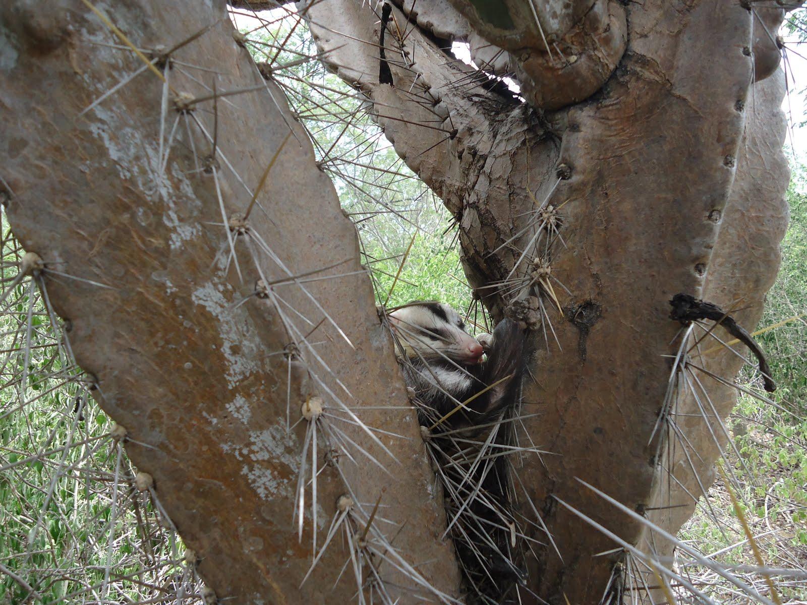 Um gabiru na caatinga