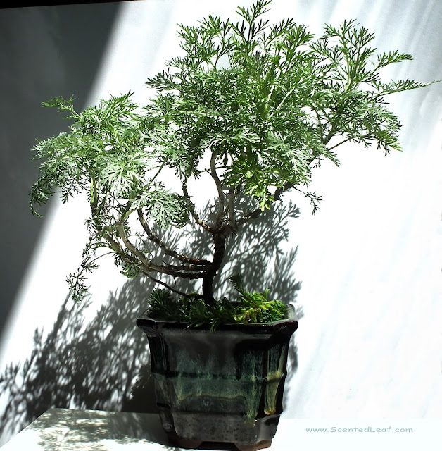 Artemisia Powis Castle bonsai in pot with greyish waves