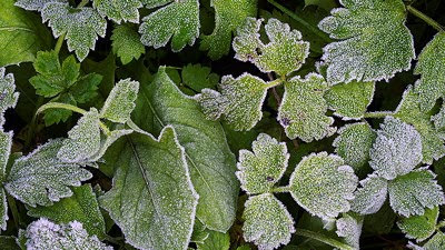 Closeup photo of some green leaves frosted by an autumn morning