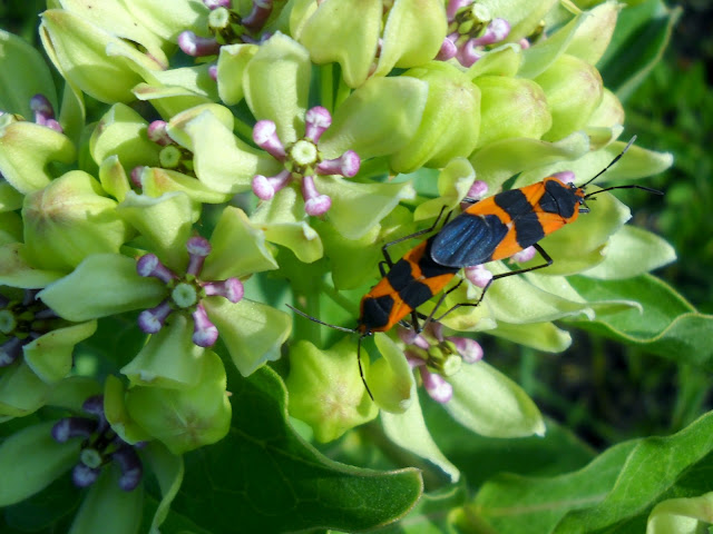 Mating Milkweed Bugs at White Rock Lake, Dallas, TX
