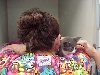 Gray and white kitten being hugged by a technician