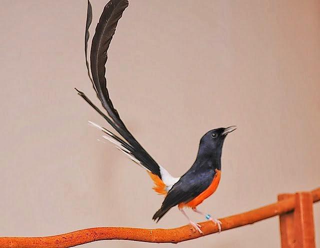 Mengenal Karakter dan ciri-ciri Burung Murai batu Medan