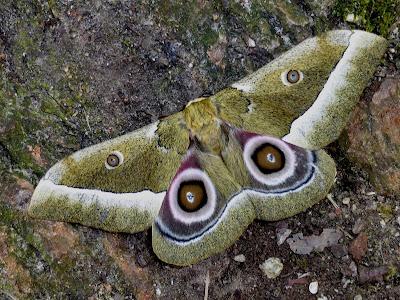 Gonimbrasia zambesina female