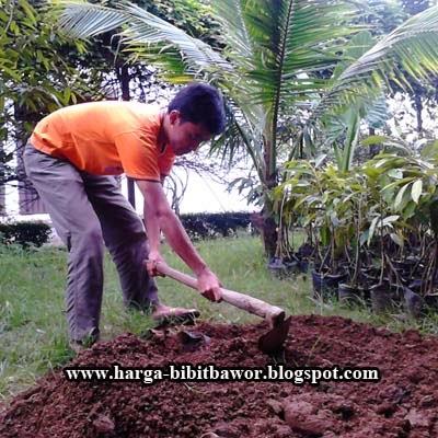 Cara Tanam Bibit Durian