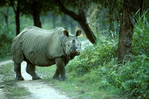 One-Horned Rhinoceros