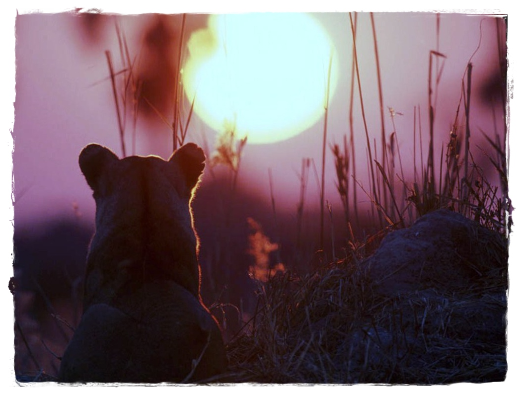 http://2.bp.blogspot.com/-5n-ODIh7p6o/T6XmSXtZ1aI/AAAAAAAAFXI/M7a_3tWO4EM/s1600/Lion_sunset_Wallpaper_hl1tm.jpg