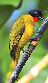 Burung Kutilang Emas Perawatan Makanan Anakan Pemasteran