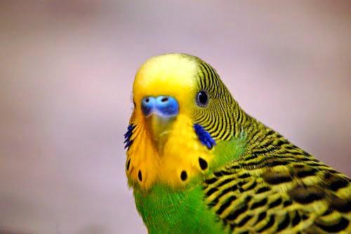 http://tipspetani.blogspot.com/2015/01/aneka-macam-warna-burung-parkit.html