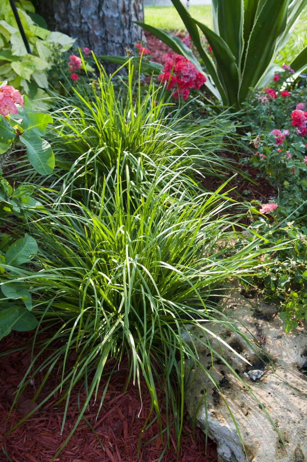 ozbreed new plant spotlight drought tolerant plants for florida