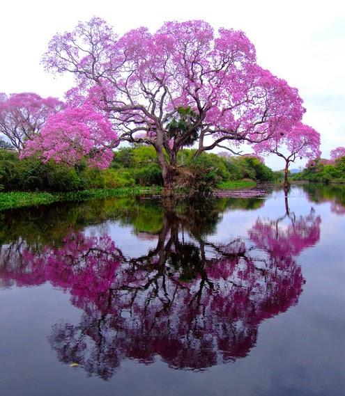 Быстрорастущее дерево Павловния
