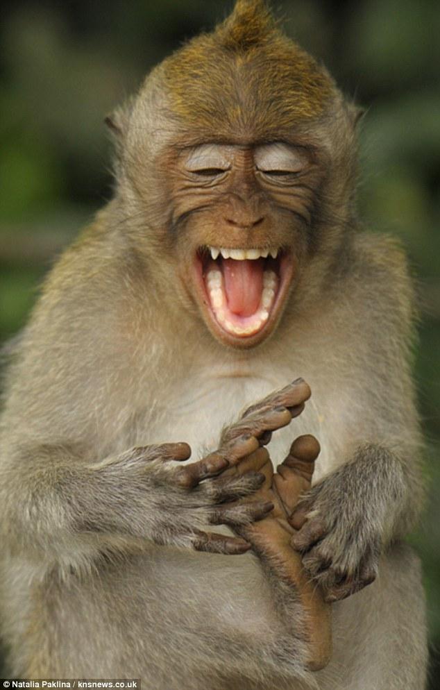 Monyet yang suka geletek tapak kaki sendiri