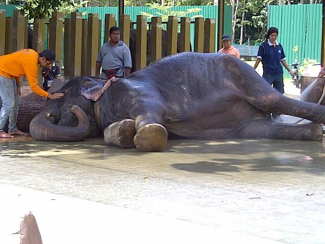رحلة بالصور : محمية رعاية الفيلة اليتيمة بماليزيا