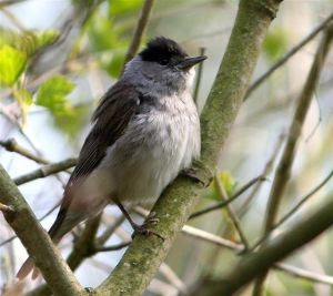 Blackcap