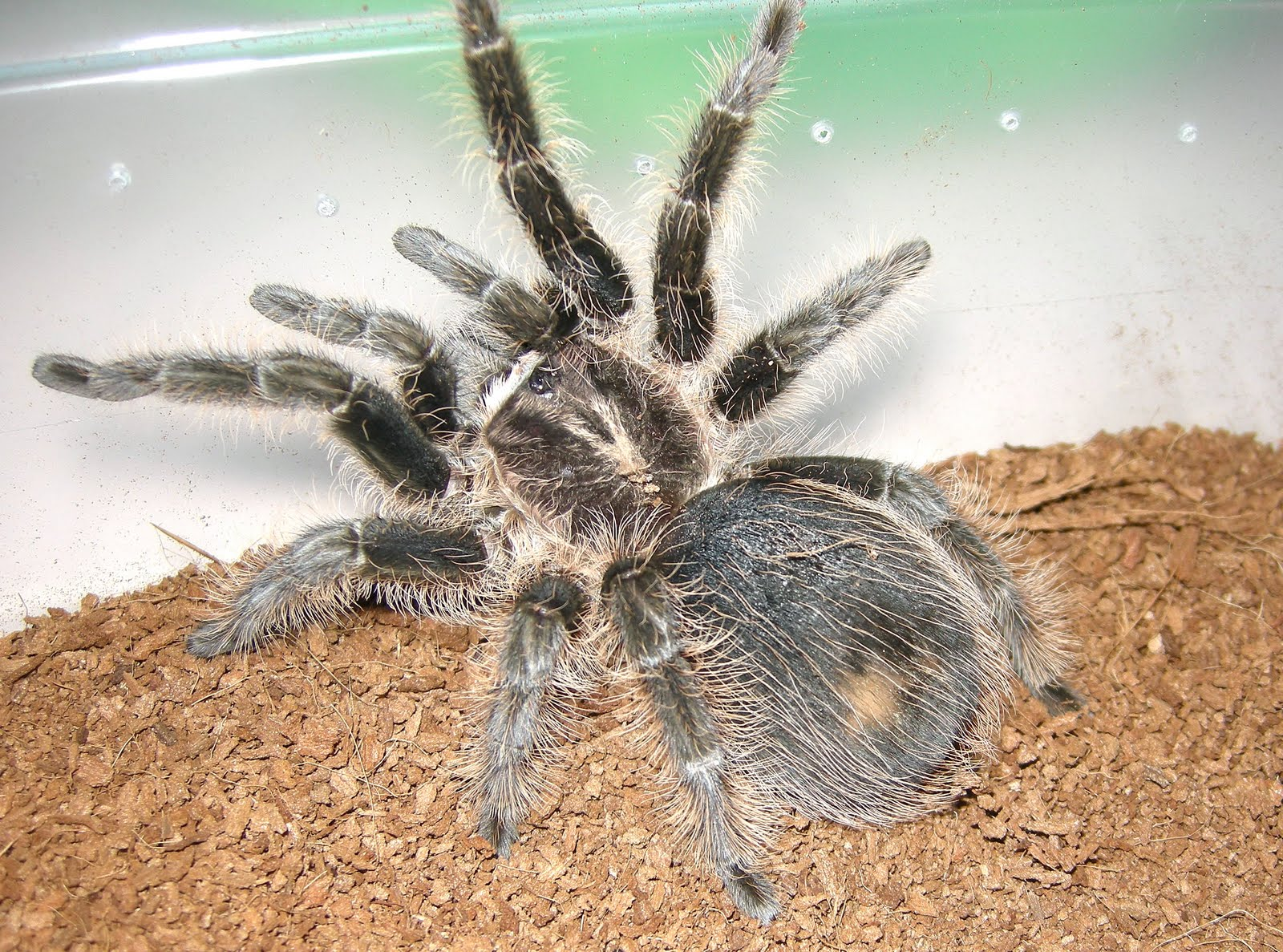 bugs n things  beginner tarantulas