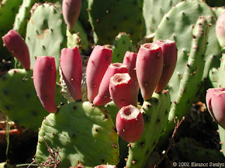 Photosynthesis process of nopal cactus is reduces the dehydration process