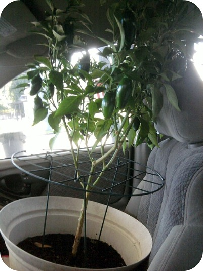 jalapeno potted plant in car roadtrip