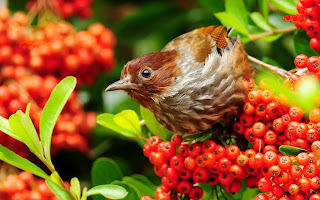 download beautiful sparrow hd wallpaper 2013