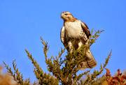 Ferruginous Hawk HD