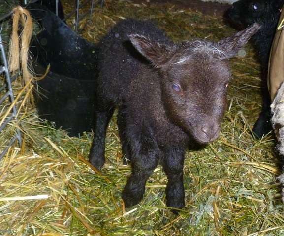 OK Acres Shetlands: 2013 Lamb post---#7