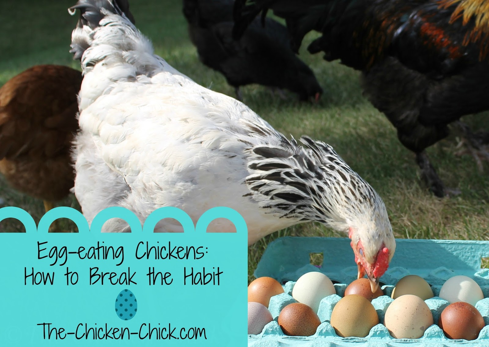 The Chicken Chick Egg Eating Chickens How to Break the Habit