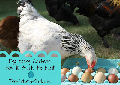 Egg eating is a difficult to break chickens of, but some easily-implemented strategies may work.