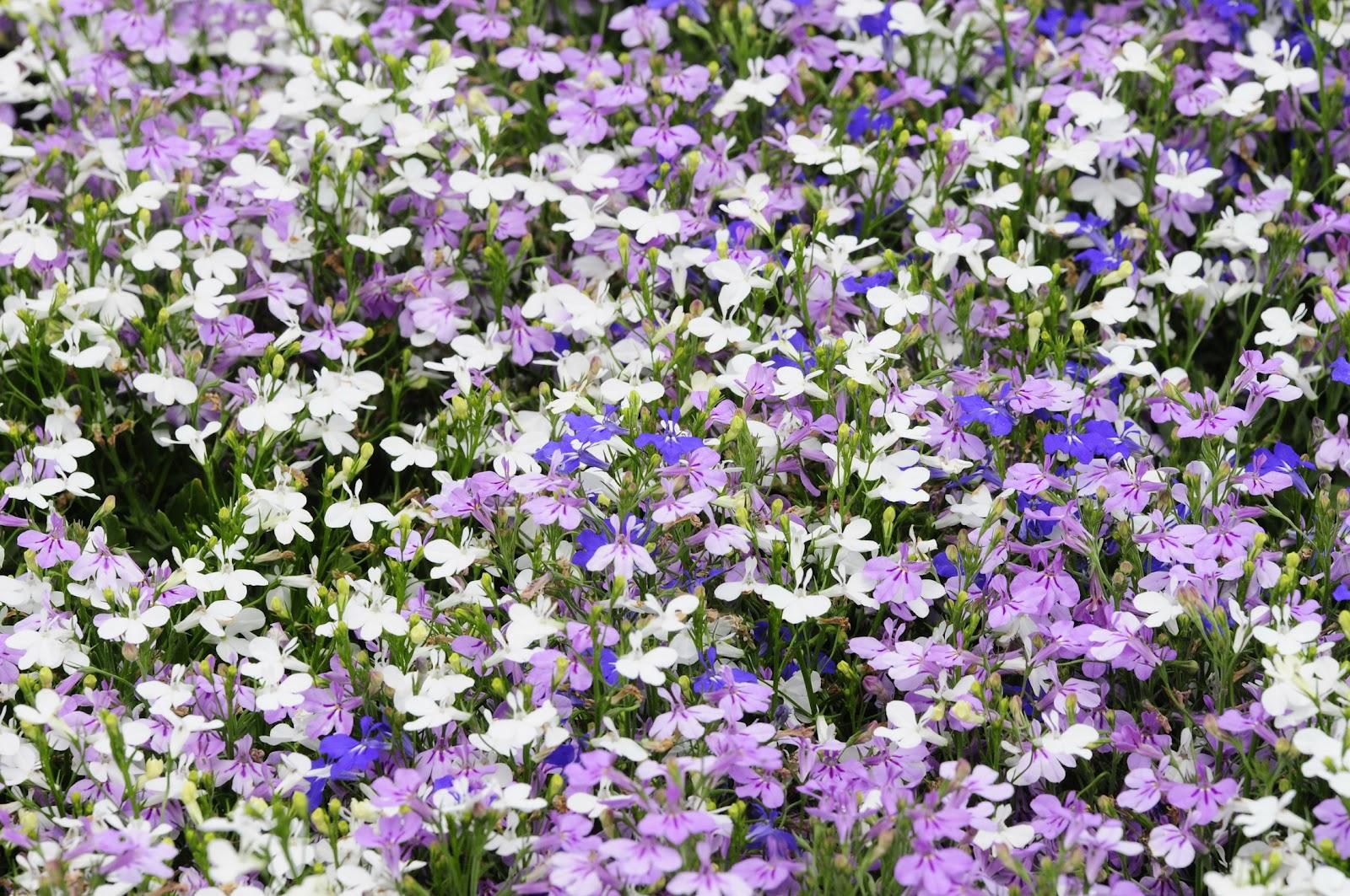 Цветок лобелия фото цена