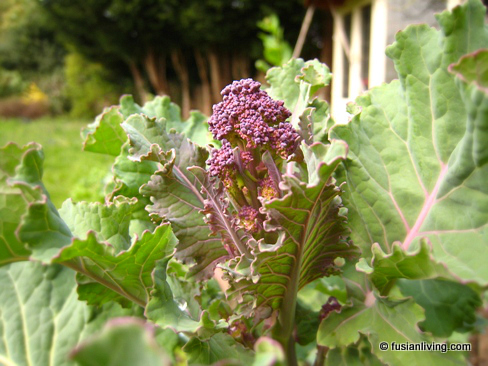 Harvest shoot of Purple Sprouting Broccoli