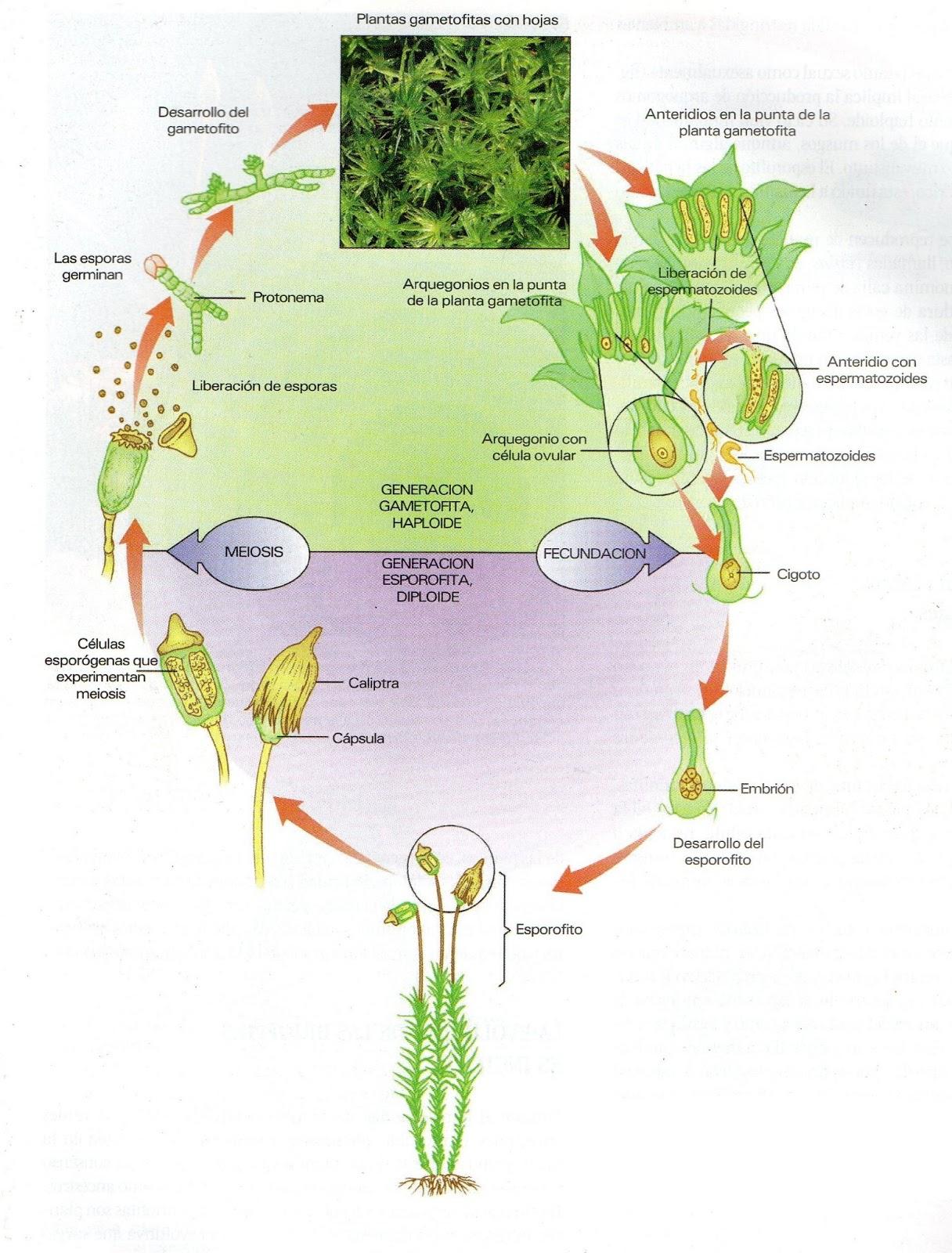Dentro de la segunda ramificación de las plantas vasculares sin