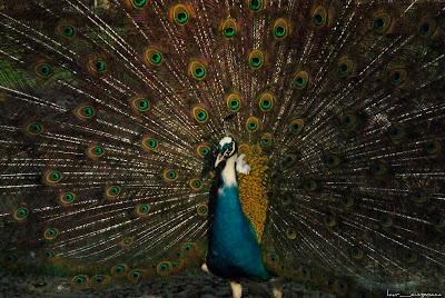 Pauni Peacocks Pfauen Pavos reales