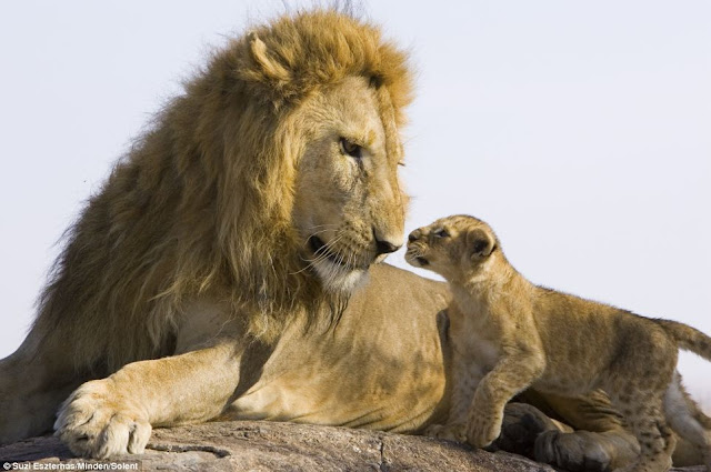 Lion cub meets his dad for the first time on Kenya, Father and son lay eyes on one another for the first time