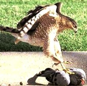 Halcón cazando paloma