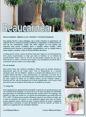 Beaucarnea
