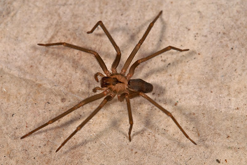 How to Identify a Brown Recluse: 11 Steps (with Pictures)