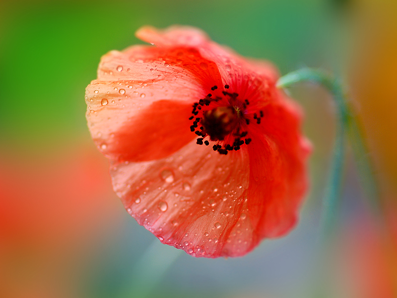 عکس+گل+شبنم