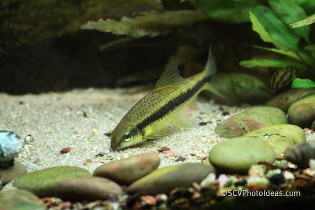 Siamese Algae Eater aka SAE (Crossocheilus siamensis) II