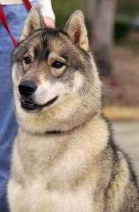 Foto Anjing Siberian Husky Saddleback
