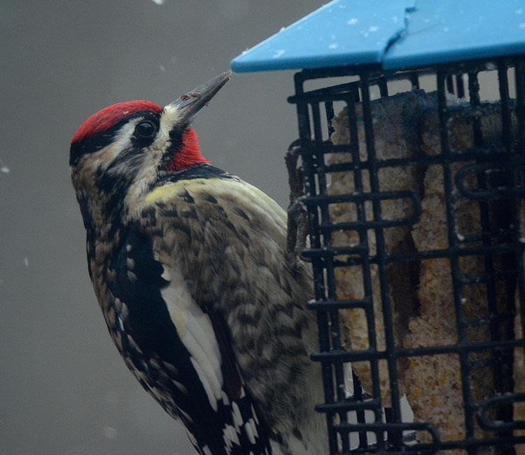 A wintering Yellow-bellied Sapsucker eating suet while snowflakes are falling all around him.