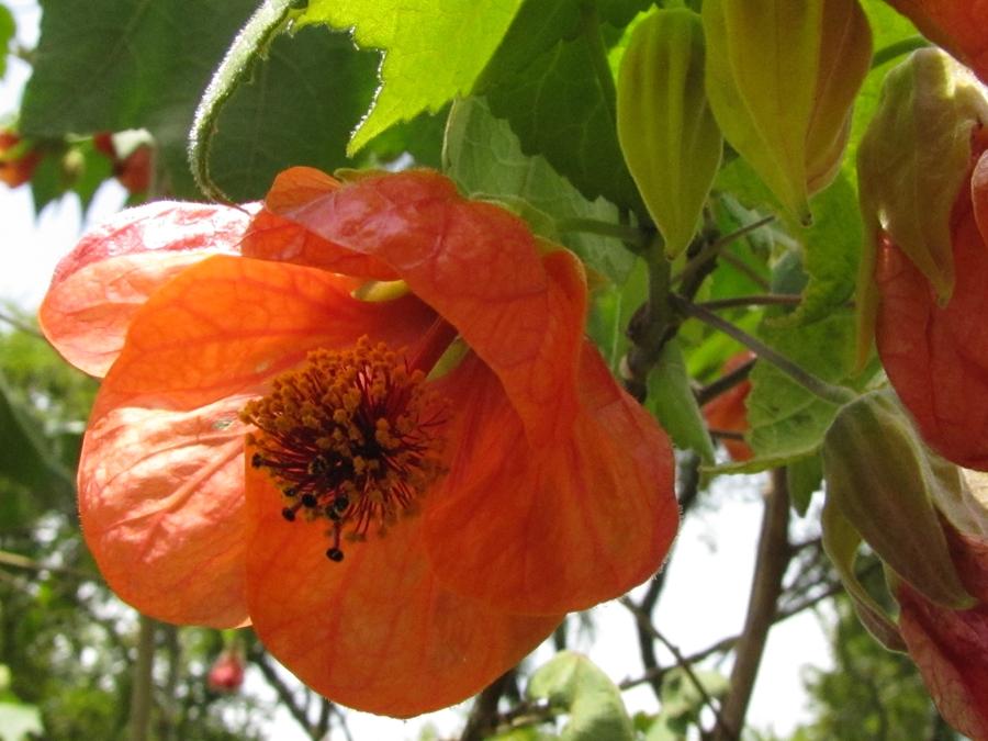 abutilon-orange